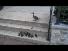 """Ducklings vs. Stairs --- everybody say """"AHHHHH'"""