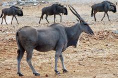 common eland - Google Search