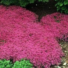 Creeping Thyme (Thymus Serpyllum 'Magic Carpet') hardy drought tolerant perennial, pink lemon-scented blooms all summer, 2-4 inches tall. by Marie Hartell Markowski