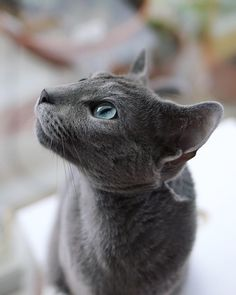 Russian Blue Cats Kittens From the humble British Shorthair and the super-cute Ragdoll to the exotic Siamese and the leopard-like Bengal, there's something to love about every breed of cat. - They're blessed with good looks. Pretty Cats, Beautiful Cats, Cool Cats, Japanese Bobtail, Russian Blue Kitten, British Shorthair, Cat Memes, Cats And Kittens, Kittens Meowing