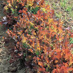 www.rustica.fr - Quand semer les légumes de l'automne et de l'hiver - Mesclun