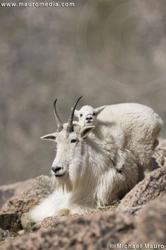 Mountain goats~