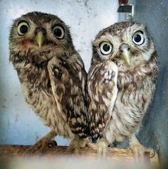 Rescued Little-Owls - At our friend's wildlife hospital. They fell down a chimney into someone's front room.