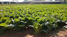 Návod: jak si vypěstovat pekingské zelí Sprouts, Cabbage, Vegetables, Plants, Veggies, Vegetable Recipes, Brussels Sprouts, Cabbages, Plant