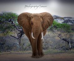 Photographie Le patriarche, Eléphant, Brousse Africaine, Photo Nature, Fine Art Print, Nature collection, Photo Voyage, Déco Pépinière. de la boutique PhotographySensor sur Etsy