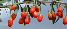 Le Lyciet ou Goji est un arbuste facile à cultiver. Découvrez nos conseil pour produire vous même et sécher vos baies de Goji, au déshydrateur ou au soleil.