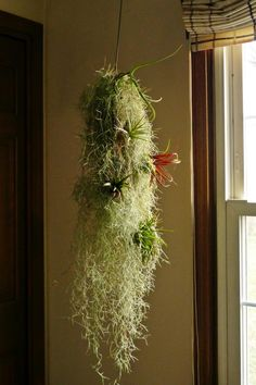 Spanish Moss (Tillandsia usneoidesand) - Planted in a Hanging Basket and studded with other small air plants.
