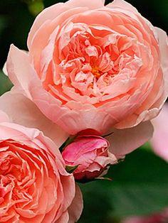 Цветы розы садовые: названия и сорта на фото, посадка, цветение и уход