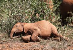 Kainuk taking it easy - read about her rescue and progress at http://www.sheldrickwildlifetrust.org/asp/orphan_profile.asp?N=243