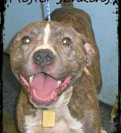 """This baby needs help.  Got to love the spirit of a pittie,  This little guy is smiling while he has a severe head injury possibly due to a dog fight. A """"chip in"""" fund has already been set up by the Lucas County Pit Crew to help cover the expenses and donations are being accepted at http://lcpckirby.chipin.com/mr-jenkins.    The Lucas County Pit Crew is also accepting checks via mail at  PO Box 351222 Toledo, OH 43635"""