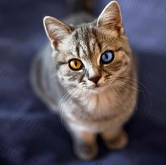 """A cat is called """"odd-eyed"""" when it has one blue eye and one green, yellow or brown eye. This condition is usually seen in solid white cats, although it can also be found in cats of any colour including solid black ones."""