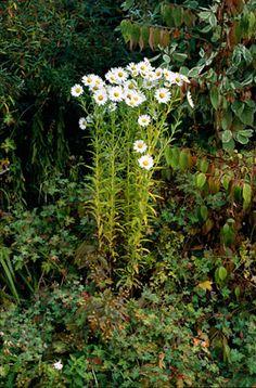 Leucanthemella serotina (Autumn ox-eye) Shade/part-shade Partial Shade Perennials, Herbaceous Perennials, White Gardens, Fall Flowers, Chrysanthemum, Green Leaves, Organic Gardening, Garden Plants, Garden Design