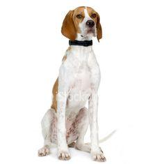 İngiliz Pointer::   İtalyan Pointer, Greyhound, Bloodhound, Setter, Bulldog ve Newfoundland 'un çaprazlanması ile geliştirilmiştir. Irk böyle büyük bir karışımı içerdiği için belki de sonuç olarak bugün hala değerli çok sayıda mükemmel özelliklere sahip bir ırk oluştur. Pointerın biz bugün sadece yaklaşık 80 yıldır varlığını sürdürdüğünü biliyoruz. Pointerlar tarihte tavşan bulmak için kullanıldılar. Erken 18. yüzyılda . Onun keskin yetenekleri nedeniyle Pointer sık sık av için kullanılan