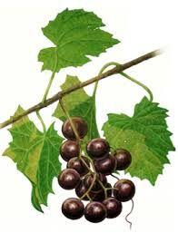 Afbeeldingsresultaat voor afbeelding druivenbladeren