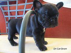 Adorable French Bulldog puppy!