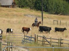 Cattle Drive in Ludington, Michigan...one of my favorite memories.