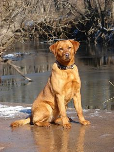 Red Ryder from Gracie by redpointlabs.  I want a Red Fox lab!