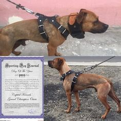 Pitbull Bloodlines, Black Pitbull, American Pitbull, Bully Dog, Real Dog, Dog Games, Hunting Dogs, Working Dogs, Pitbull Terrier
