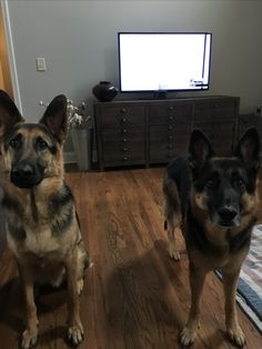 Love my gsds