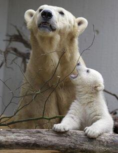 La cachorra de oso polar Anorí se encuentra en su primer viaje a través del recinto al aire libre con su madre de Vilma en el zoológico de Wuppertal, Alemania. Foto: AP
