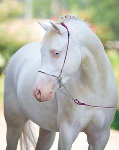 Welsh Pony section B gelding, Stougjeshoeve Eye Catcher. photo: Alexia Khruscheva.