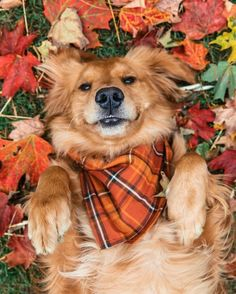 Raise your hand if you want to pet Bennie! Just dropped 7 new fall dog flandanas! Tag your favorite dog owner to win a flannel and matching flandana for your and your friend! Link in bio Fall Season Pictures, Fall Dog Photos, Photos With Dog, Cute Dog Photos, Funny Photos, Halloween Fotografie, Animals And Pets, Cute Animals, Farm Animals