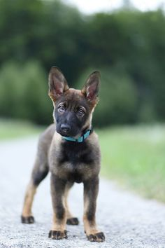 German Shepherd! Follow us on Twitter!...and on Pinterest!......and Facebook....yes.....that must be it.... Click to View!