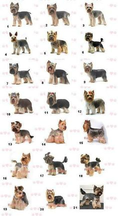 So many different ways to cit your Yorkshire Terrier. Grooming at Roxie Delux in Birmingham has a few examples. Dog Grooming Styles, Grooming Salon, Pet Grooming, Grooming Yorkies, Schnauzer Grooming, Yorkshire Terriers, Yorkshire Dog, Yorkshire Terrier Haircut, Yorky Terrier