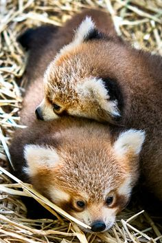 The FLUFFLE is real! Meet Cleveland Metroparks Zoo's twin Red Panda cubs on ZooBorns.com or at http://www.zooborns.com/zooborns/2017/08/double-the-fluff-twin-red-pandas-born-at-cleveland-zoo.html