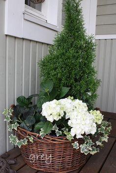 Tuija, valkoinen hortensia ja muratti sopivat hienosti yhteen.