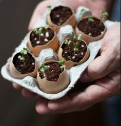 Eggshell Seedlings - Spring in an Egg While I was browsing the internet for the cutest and smartest easter egg decoration ideas i bumped into this post on a great blog 17apart. And I fell in love with the idea. Of course it's not really new, but it's still fresh. Planting herbs in eggshells really looks photogenic and the good thing about it is, you can seed the plants directly into the ground with the eggshells, when the sprouts are big enough. So eco!