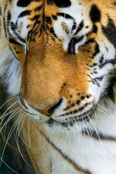 Tiger. Big kitty. I want to lovingly grab ahold of her face and give her nose a great big kiss!