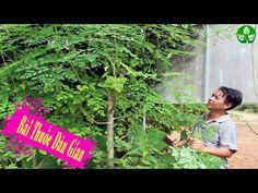 Herbal and Herb: Sự thận Ngã Ngữa về cây Chùm Ngây trong tự nhiên