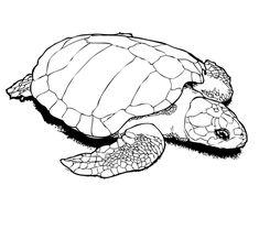 schildkroete   ausmalbilder tiere   pinterest   ausmalbilder tiere, ausmalbilder und schmetterlinge