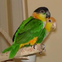 Because of their acrobatic displays, caiques require extra large cages for their relatively small size. Many breeders recommended a minimum cage size of 31⁄2-feet high by 3-feet deep by 4-feet in length. Choose one with safe bar spacing, no more than 3⁄4 or 7⁄8 an inch.