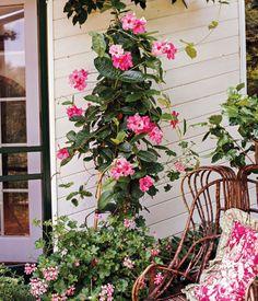 Balcony Plants, Patio Plants, Outdoor Plants, Garden Planters, Outdoor Spaces, Best Perennials For Shade, Hardy Perennials, Mandevilla Vine, Red Geraniums