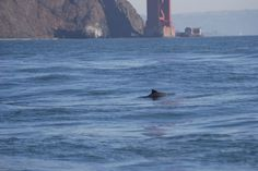 Have you seen a harbor porpoise in San Francisco Bay? Tell us about it! These animals have recently returned after a 65 year absence. Read the full story at www.nwf.org/news-and-magazines/national-wildlife/animals/archives/2014/harbor-porpoises.aspx #wildlifeweek