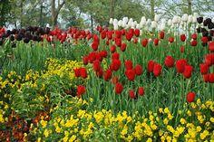 Blumen, Tulpen, Rote Blumen -