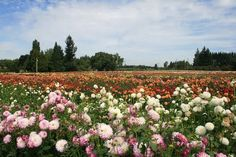 Swan Island Dahlias, located not on Swan Island, but in Canby, OR.