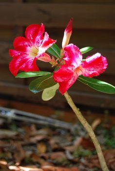 desert rose red