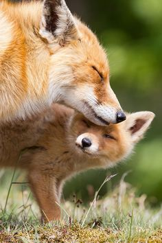 Red fox with cub by Menno Schaefer