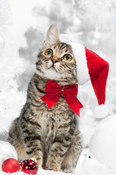 The 10 Cutest Christmas Cats EVER!