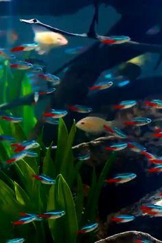 Tropical Freshwater Fish, Tropical Fish Aquarium, Freshwater Aquarium Fish, Aquarium Fish Tank, Planted Aquarium, Live Fish Wallpaper, Wallpaper Nature Flowers, Aquarium Design, Beautiful Fish