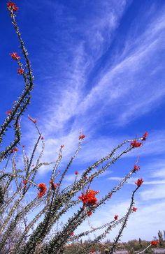 Arizona desert in bloom