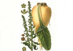 Franz Carl Achard and the Sugar Beet (Beta Vulgaris) Vegetable Garden, Garden Plants, Sugar Beet, Sugar Sugar, Prepper Food, Juicing Benefits, Grow Your Own Food, Natural Sugar, Fruit Trees