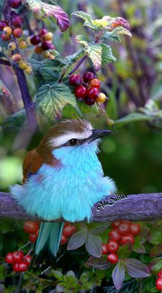 Roller, one of the worlds most beautiful birds known for its array of colors!