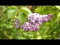 Syringa vulgaris aka Lilacs - YouTube