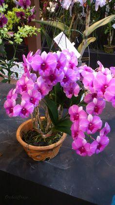 OrchidCraze