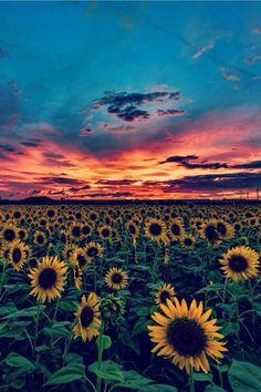 #beautyofnature #sunflowerfields #flowers #sunset