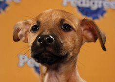 "Calvin from this year's Animal Planet Puppy Bowl... his fun fact is: ""Restores classic cars"""